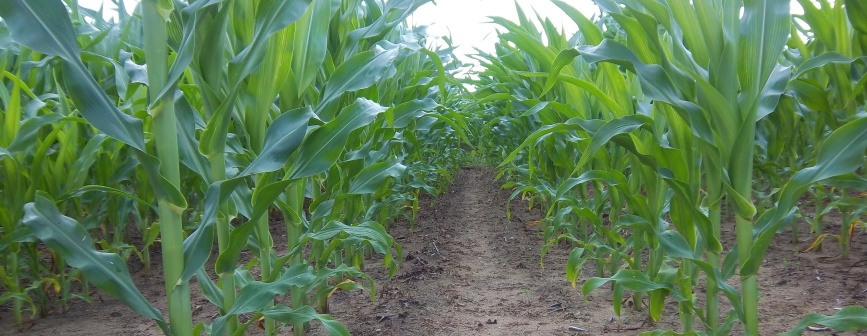 Corn Rows2